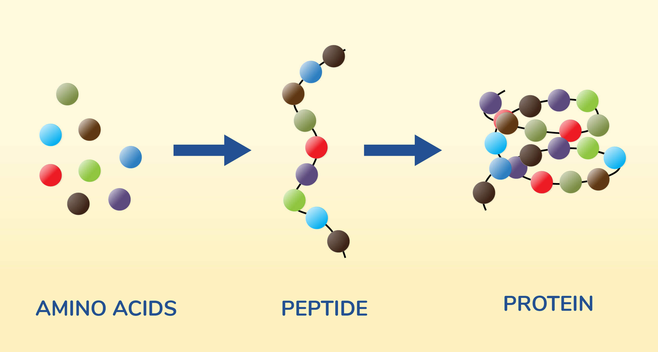 Infographic on amino acids and peptides